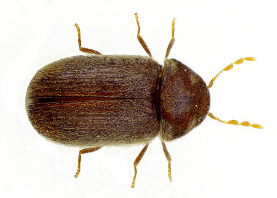 Carpet Beetle Extermination