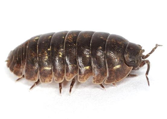 Pillbug Extermination