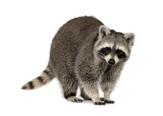 Raccoon Relocation