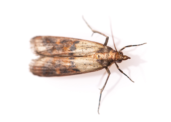 Addison Pest Control is the moth specialist. We have never failed to eliminate a moth infestation.
