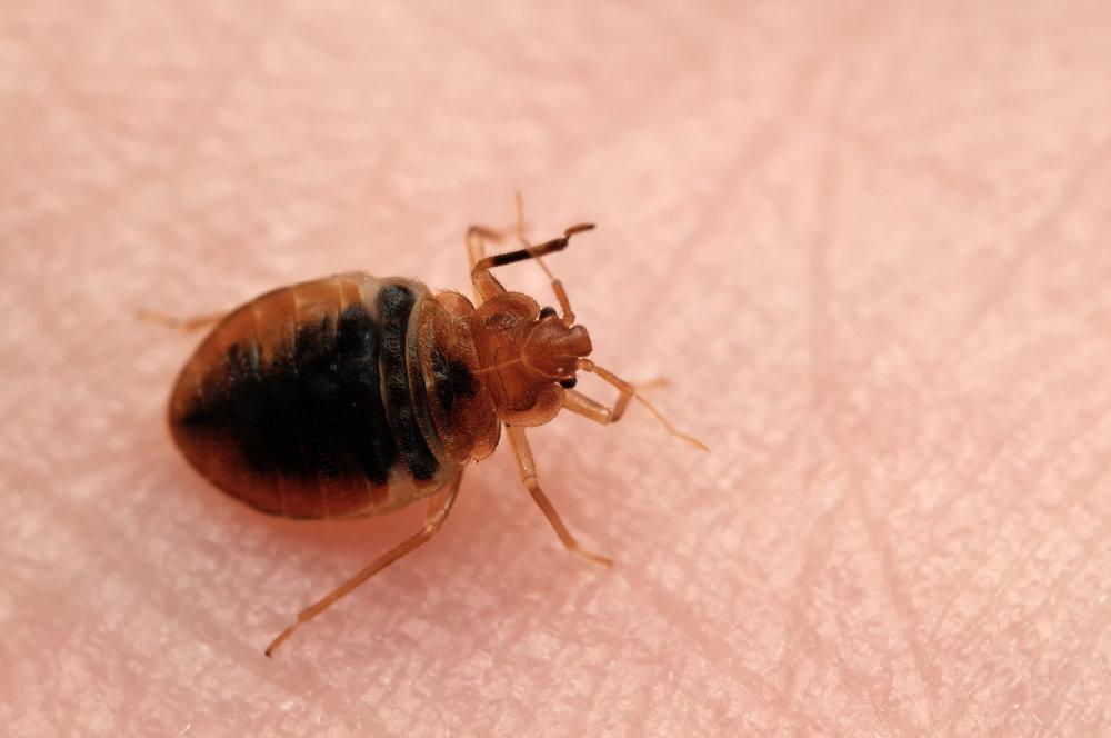 Bed Bug Bites Addison Pest Control The Bed Bug Experts