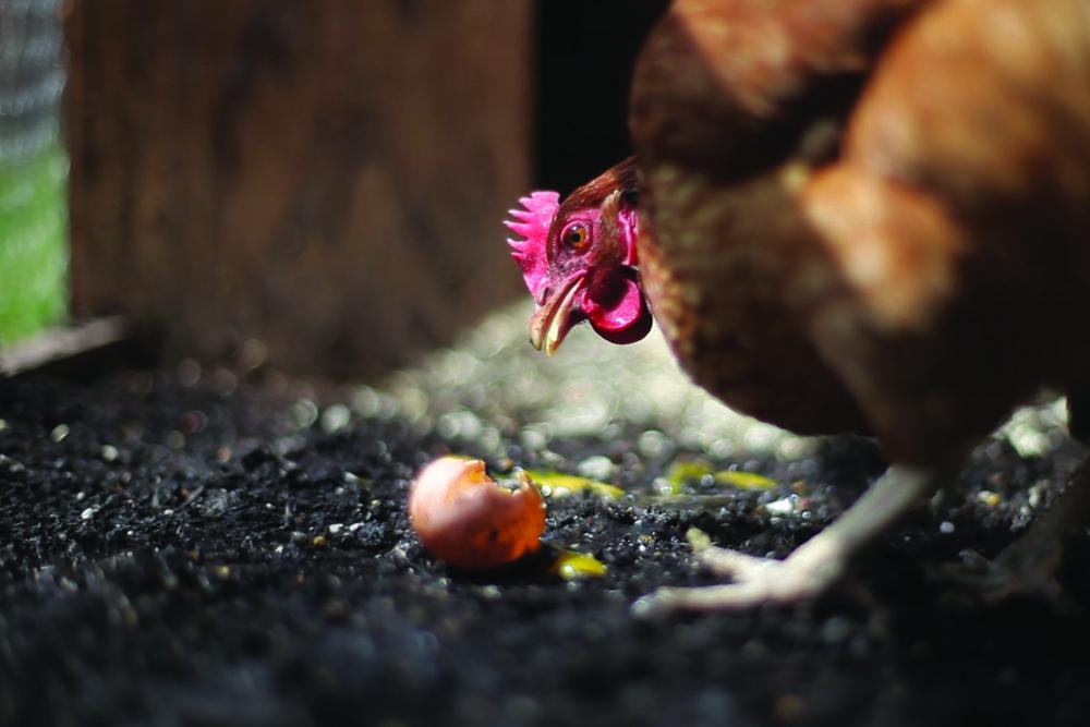 Rachel Yurkovich, still from  Egg Eating Chicken  (04.24,2014), 2014, video.
