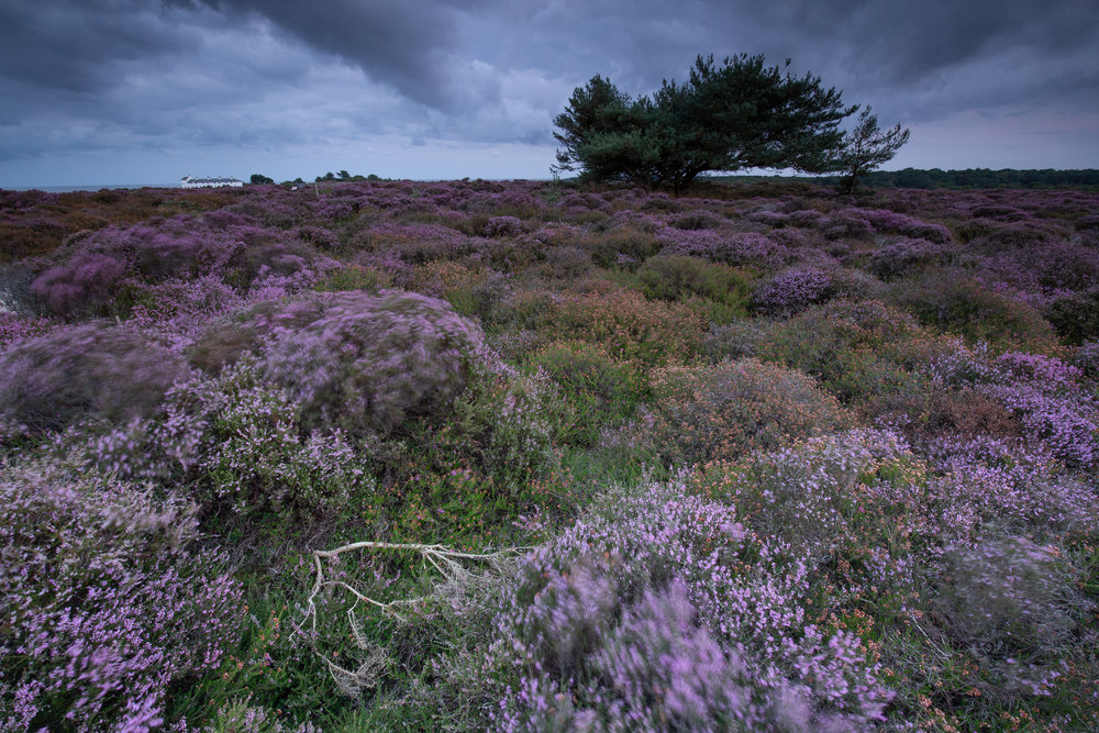 Subtle Purple, Dunwich Heath, Suffolk.