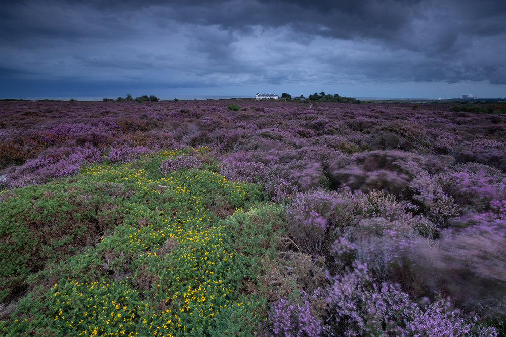 Dotted Grey, Dunwich Heath, Suffolk.