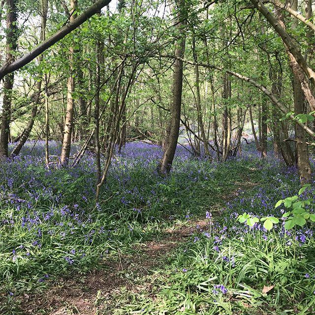 Bluebell time #woods #walks #timetostareresidency