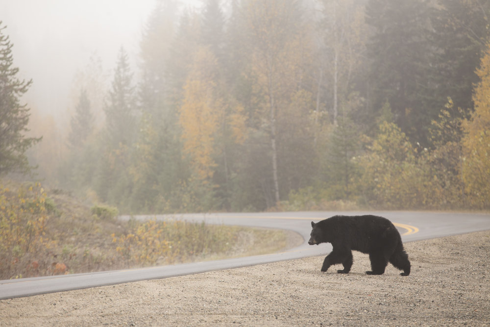 Bear crossing in Wells Gray Park Photographer: Matt Ferguson