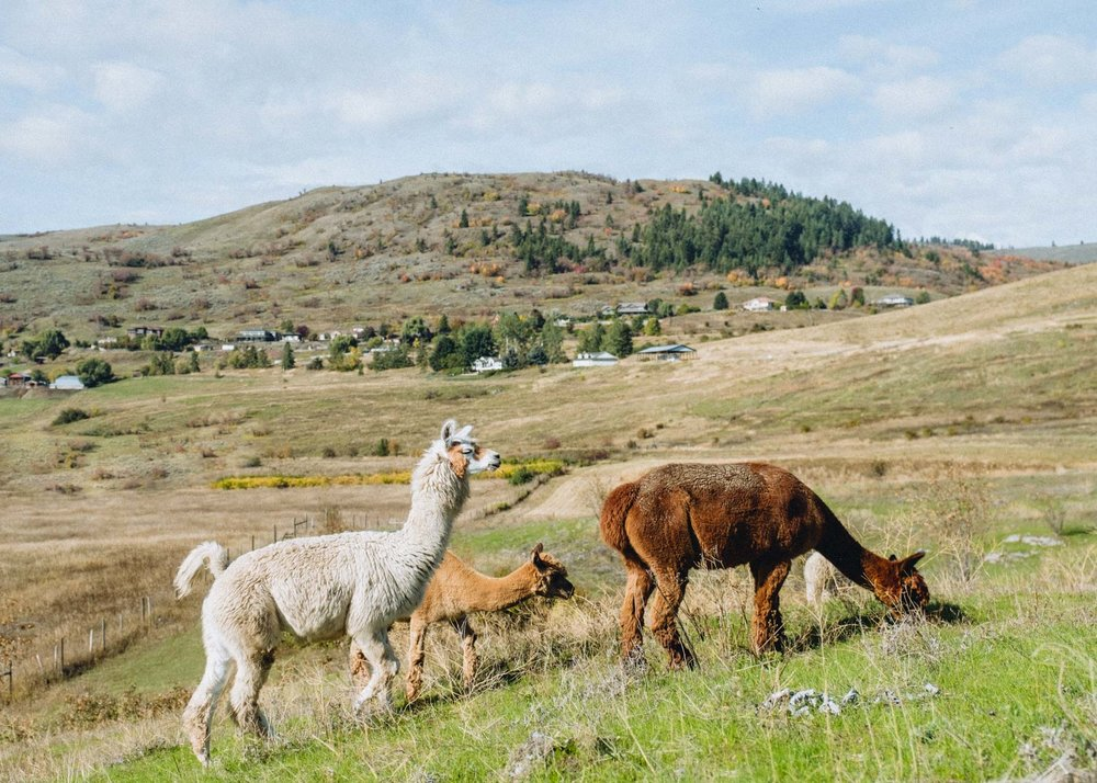 Camelot Haven Alpaca Farm, Vernon Photo credit: Megan McLellan & Emanuel Smedbol