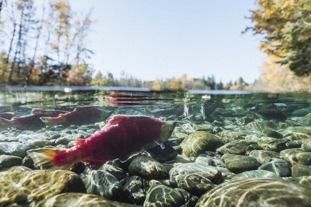 Adams River Salmon Run, Tsútswecw Provincial Park, Shuswap