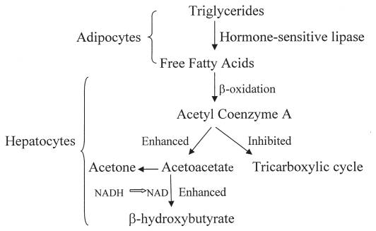 Formation of ketoacids during diabetic ketoacidosis (   Source   )