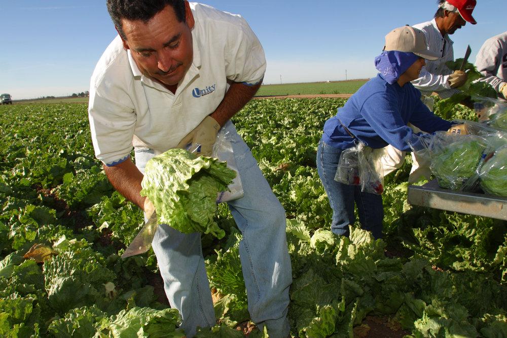 lettuce-field-worker1.jpg