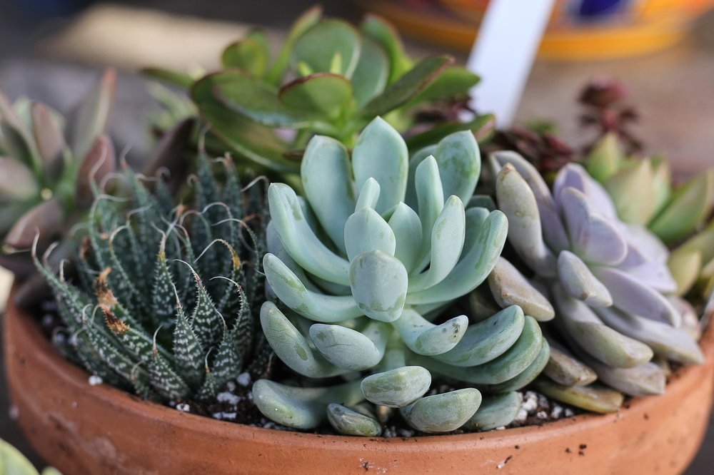 succulent-care-and-display-tips.jpg