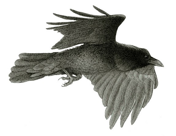 FlyingRaven_002.jpg