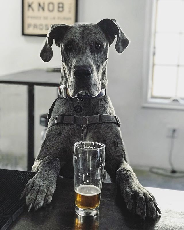 When it's been a ruff (yet short) work-week, and all you want is a treat! 🐶🍻 ____________________________  Join us for First Fridays in the @rivieravillage tonight from 5-8pm! 🎸🌴 So stop by and have a beer 🍻 while strolling through the festivities! Your doggos are welcome, including our good friend, @zeus_colorado ! Thanks fur this fun photo! 🐾 . . . #weeklyhaps #kingharborhaps #kingharborbrewing #kingharborbrew #kingharborvillage #kingharborwaterfront #craftbeer #redondobeach #hermosabeach #manhattanbeach #torrance #drinklocal #southbay #cheers #firstfriday #firstfridays #friday #friyay #january #rivieravillage #dogfriends #furryfriends #dogs #puppies #pup #love