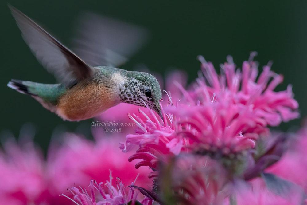 WEB watermark 8232 Sipping Hummingbird 1500 px.jpg