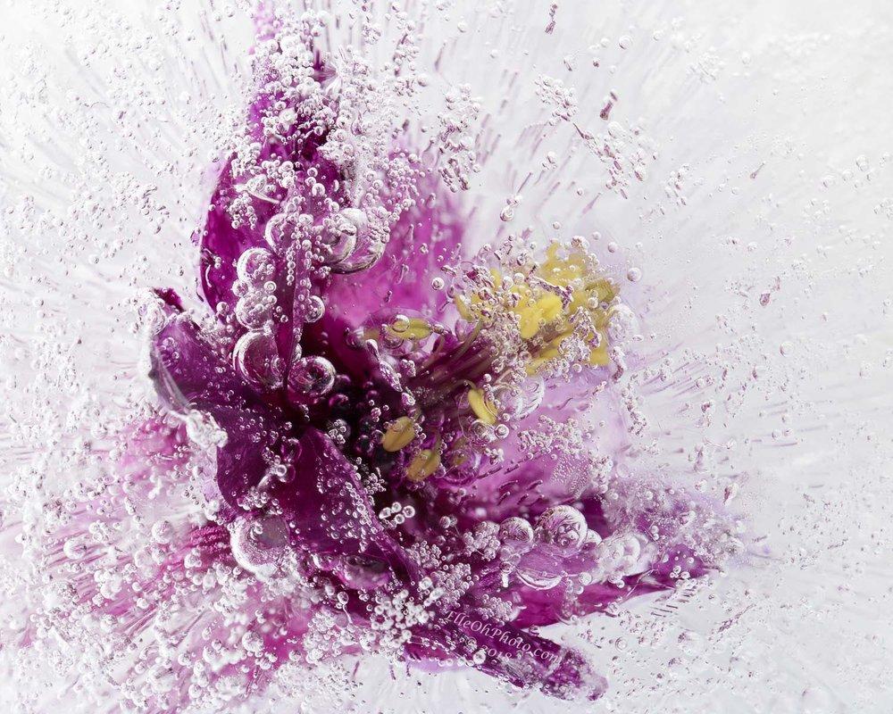 WEB watermark 9556 Purple Columbine1500 px.jpg