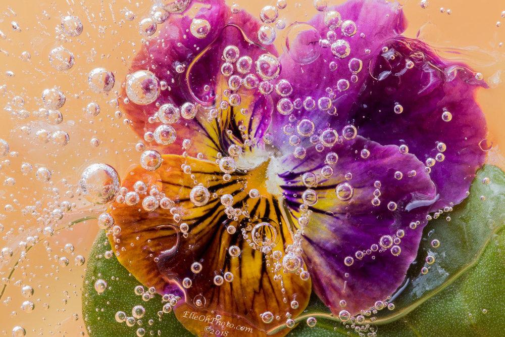 WEB watermark 5864 Purple Orange Pansy 1500 px.jpg