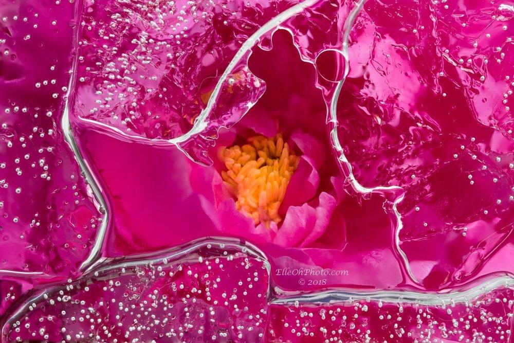 WEB watermark 7835 Merged Hot Pink Peony 2 1500 px.jpg