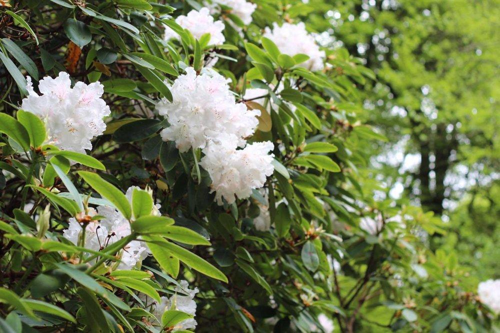 white-flower-bush