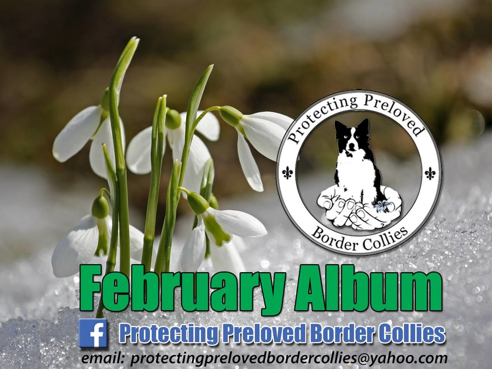 If you think you could offer a forever home to any of these dogs please email  protectingprelovedbordercollies@yahoo.com   Most of them have their own Facebook page, if you click on their picture you can find out how they have been getting on.