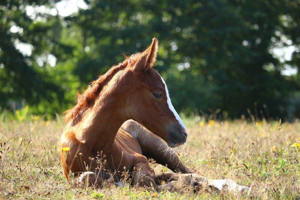 foal-3666767_1920.jpg