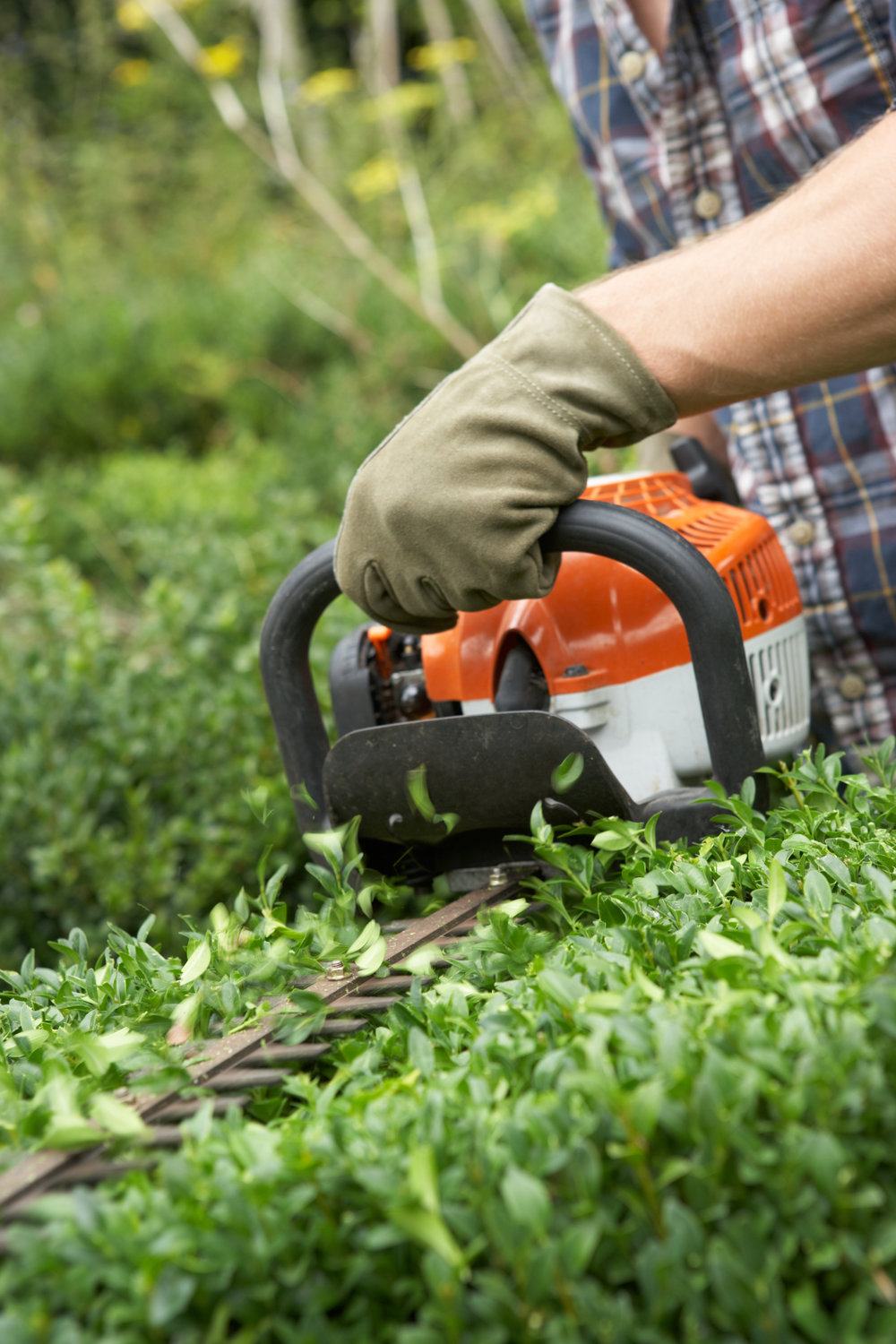 HEDGE AND CONIFER MAINTENANCE -