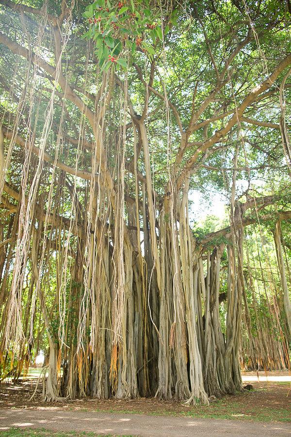 waimea-plantation-cottages-tree.jpg