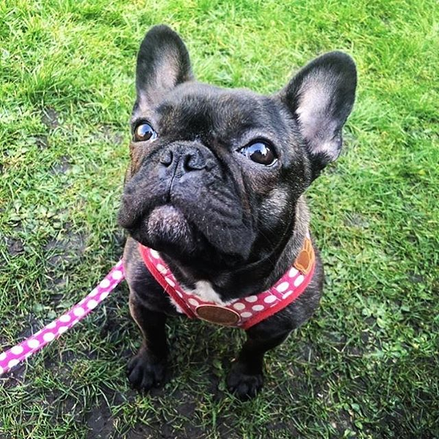 """Meet @peggy.the.french our newest #dogbassador from #SouthWales 💛💛 Peggy is a mini #FrenchBulldog that lives in #Wales with her family! These big ears of her can detect a packet of food being opened from miles away! She is very sociable and loves meeting new friends and going to new places! ⭐️ Get our dog-friendly app today from the Apple Store + Google Play, look for """"DOGOUT DOG FRIENDLY MAP"""" 🥰 where you can find now almost any city or big town in the UK and some European capital cities. Did you know we have added Stockholm (Sweden) and Oslo (Norway) as well? Say whaat???! 🙉 Become our #dogbassador today, we are looking for dogs anywhere in the world! 🍲 🥟 #dogfriendlylondon #caniincitta #canidifirenze #dogfriendlyhotel #dogfriendlyflorence #dogfriendlyitaly #italia #italy #dogfriendlyrestaurant #dogfriendlycafe #dachshund #chihuahua #terrier #viajarconperromola #dogfriendlystockholm #dogfriendlyoslo"""