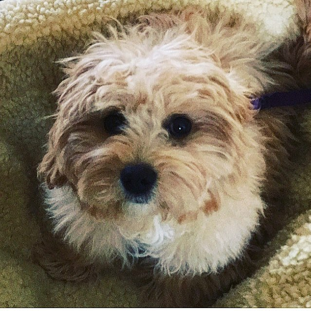 """Meet our newest #dogbassador @bentley_cavachon8 , based in #wales . Bentley is a five month old #Cavachon , He loves to snuggle and go for nice long walks and loves his treats! ⭐️ 💛 Get our dog-friendly app today from the Apple Store + Google Play, look for """"DOGOUT DOG FRIENDLY MAP"""" 🥰 where you can find now almost any city or big town in the UK and some European capital cities. Did you know we have added Stockholm (Sweden) and Oslo (Norway) as well? Say whaat???! 🙉 Become our #dogbassador today, we are looking for dogs anywhere in the world! 🍲 🥟 #dogfriendlylondon #caniincitta #canidifirenze #dogfriendlyhotel #dogfriendlyflorence #dogfriendlyitaly #italia #italy #dogfriendlyrestaurant #dogfriendlycafe #dachshund #chihuahua #terrier #viajarconperromola #dogfriendlystockholm #dogfriendlyoslo ⭐️"""