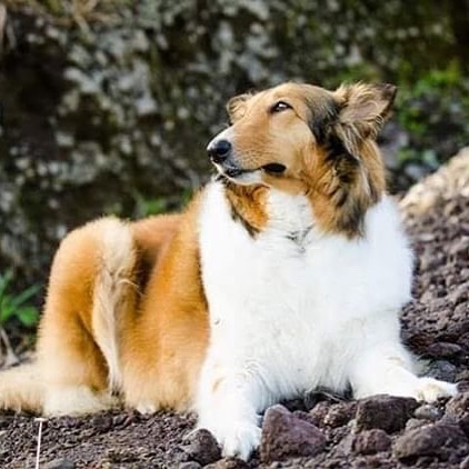 """Meet our newest #dogbassador the cuttest @nina.elcollieviajero . Nina is a Pastor #collie. She is 7 years old traveling from Ecuador. In the beginning, her life wasn't easy. She lived in so many houses yet she felt lonely, hungry and so so sad. Until she found her perfect partner. She loves to travel, eat, sleep and she has actually confessed that she snores. keep watching her profile for more traveling pictures! ⭐️ 💛 Get our dog-friendly app today from the Apple Store + Google Play, look for """"DOGOUT DOG FRIENDLY MAP"""" 🥰 we have now reached #Aberdeen are we not in your town? Write your location in comments and we will add it to our map. 🙉 Become our #dogbassador today, we are looking for dogs anywhere in the world! 🍲 🥟 #dogfriendlylondon #caniincitta #canidifirenze #dogfriendlyhotel #dogfriendlyflorence #dogfriendlyitaly #italia #italy #dogfriendlyrestaurant #dogfriendlycafe #dachshund #chihuahua #terrier #viajarconperromola #dogfriendlystockholm #dogfriendlyoslo #dogfriendlyaberdeen ⭐️"""