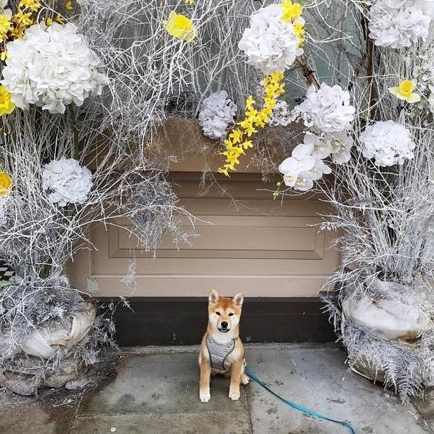 """Meet our newest #dogbassador @ginny_theshiba . Ginny is a #Shiba Inu (not a fox 😆🦊), 5 months old and she loves going on adventures around #London 🐾 ⭐️ 💛 Get our dog-friendly app today from the Apple Store + Google Play, look for """"DOGOUT DOG FRIENDLY MAP"""" 🥰 are we not in your town? Write your location in comments and we will add it to our map. 🙉 Become our #dogbassador today, we are looking for dogs anywhere in the world! 🍲 🥟 #dogfriendlylondon #caniincitta #canidifirenze #dogfriendlyhotel #dogfriendlyflorence #dogfriendlyitaly #italia #italy #dogfriendlyrestaurant #dogfriendlycafe #dachshund #chihuahua #terrier #viajarconperromola #dogfriendlystockholm #dogfriendlyoslo #dogfriendlyaberdeen ⭐️"""