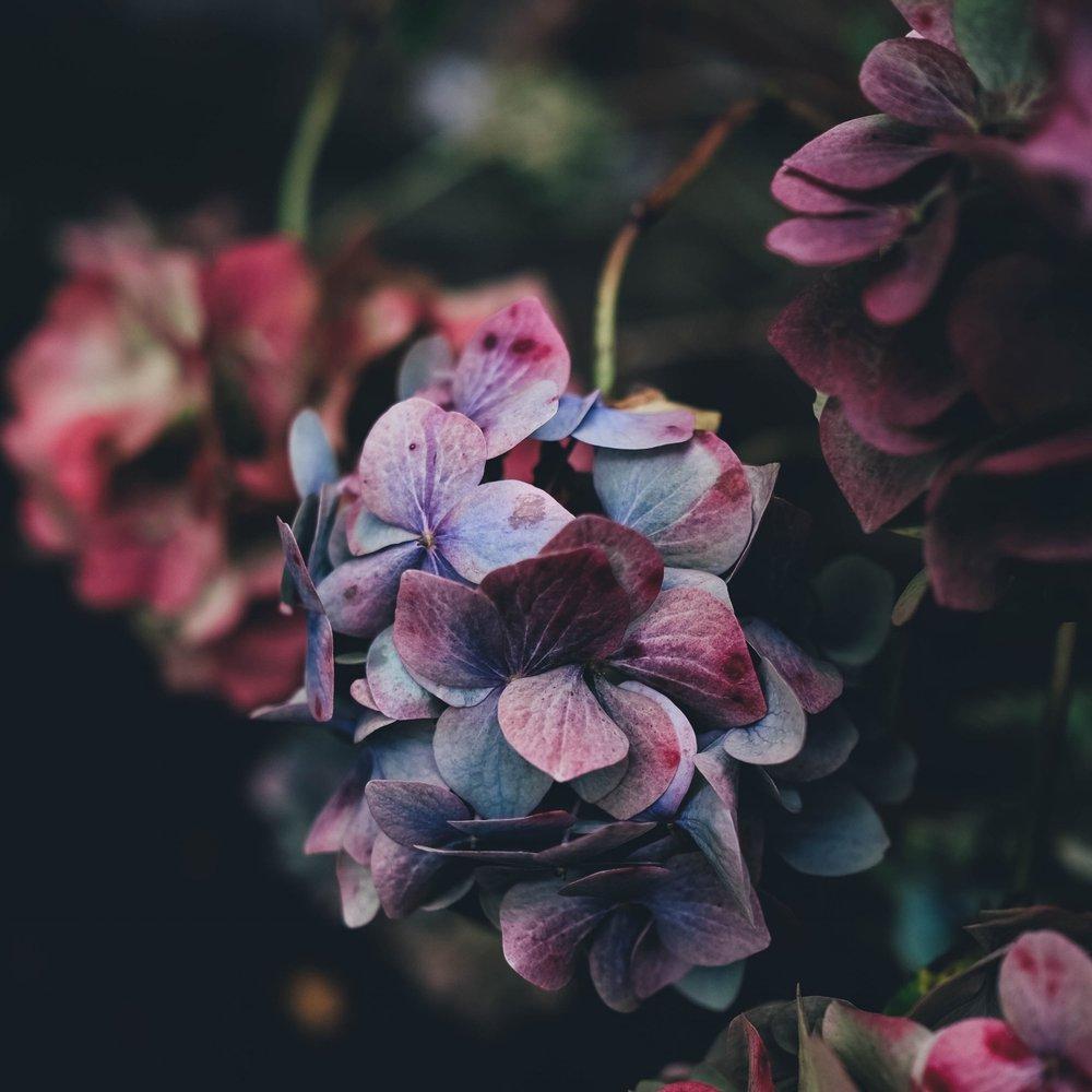 Dark hydrangea.jpg