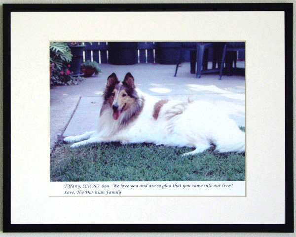 southland collie rescue-adopt collies southern california11.jpg