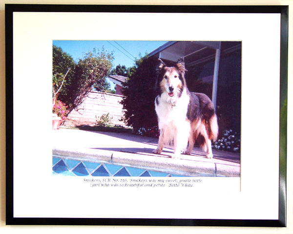 southland collie rescue-adopt collies southern california17.jpg