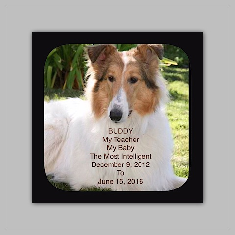southland collie rescue-adopt collies southern california38.jpg