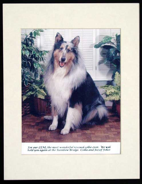southland collie rescue-adopt collies southern california42.jpg