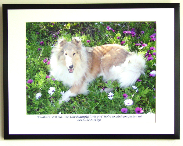 southland collie rescue-adopt collies southern california48.jpg