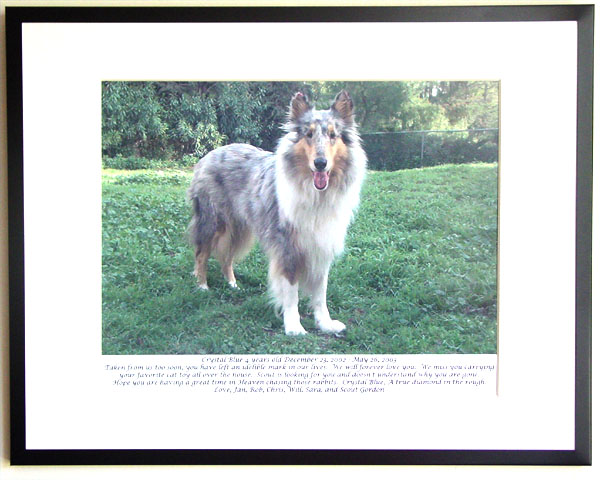 southland collie rescue-adopt collies southern california67.jpg