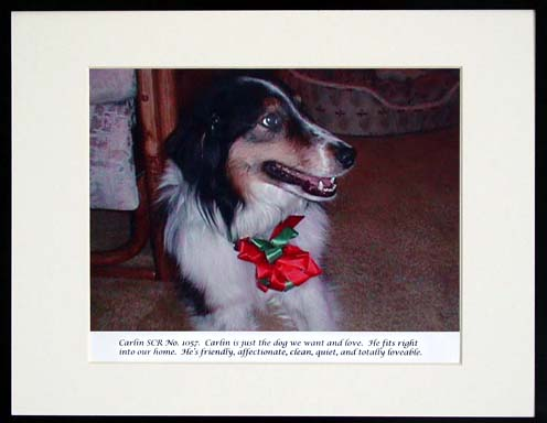 southland collie rescue-adopt collies southern california75.jpg