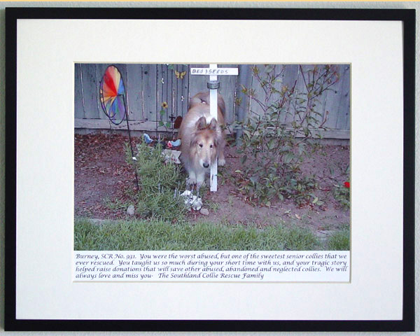 southland collie rescue-adopt collies southern california79.jpg
