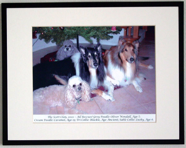 southland collie rescue-adopt collies southern california82.jpg