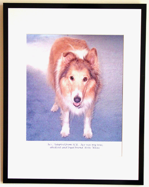 southland collie rescue-adopt collies southern california89.jpg