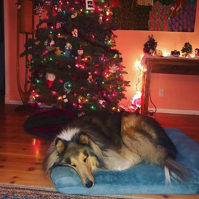 Merry Christmas from all of us at Southland Collie Rescue!! Represented by Sailor 🎄 and The Telson Pack! #rescuedogsofinstagram  #colliesofinstagram #collie #collielovers