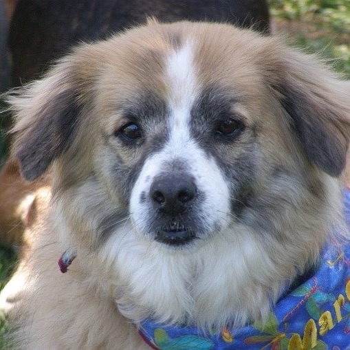 March 21, the first day of Spring, with a heavy heart Our SCR President, Sue Baldwin sent her beautiful Margaret to the Rainbow Bridge to reunite with her many human and canine friends.  She brightened Sue's every day.  Thank you Dana Kungl and Mike Kungl for adopting her to Sue 10 years ago.  Run free beautiful girl! 🐾😘 #muttsofinstagram #southlandcollierescue #petsofinstagram