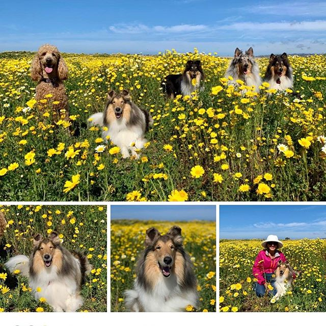 There's still time to enjoy the flowers at Fiesta Island! Bonnie and her buddies: Jenny, Katie, Bailey, and Finn. Thank you Janet Wall for sharing these gorgeous Collies! #southlandcollierescue #colliesofinstagram #collies #petsofinstagram #adoptdontshop