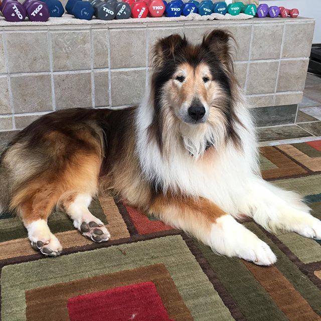 Meet Atticus! This beautiful Senior was just adopted into the most amazing pack. This stunning gentleman just landed in the arms of Mitch and Jeffyne Telson. They have a rule in their home. They only adopt the seniors! They don't care about the cost of medical expenses for these Collies. And believe us Atticus had a few! But it didn't stop them. Atticus is home now. And he is loved! Thank you Mitch and Jeffyne! If there could only be a million more people like you!  #seniordogsofinstagram #colliesofinstagram #collie #collielovers #dogsofinstagram #adoptdontshop #dogoftheday #rescuepetsofinstagram