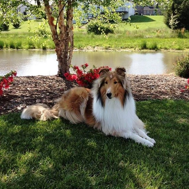 """We have a new """"friends of Southland Collie Rescue"""" to share with our collie lovers! This is Halo! He belongs to Vanessa Harris. He is a 10th generation descendent of Lassie! His great grandfather was the last acting Lassie of the Rudd/ Weatherwax line. He lives in Virginia with his two brothers Oakley and Cody. He is one gorgeous boy! #colliesofinstagram #collielovers #collie #lassie"""
