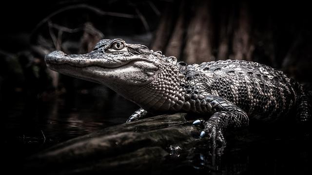 Juvenile American Alligator