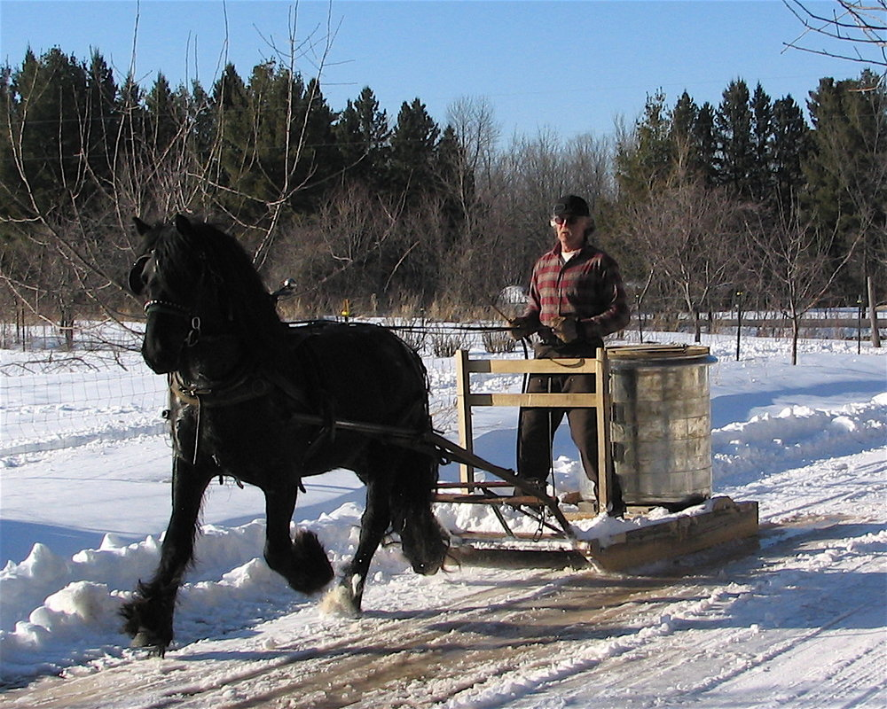 Ken Raspotnik with 2001 stallion  Raspotnik Bracken  hauling maple sap in Wisconsin (sold 2010)