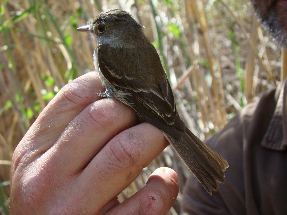 UDWR Banding Southwestern Willow Flycatcher