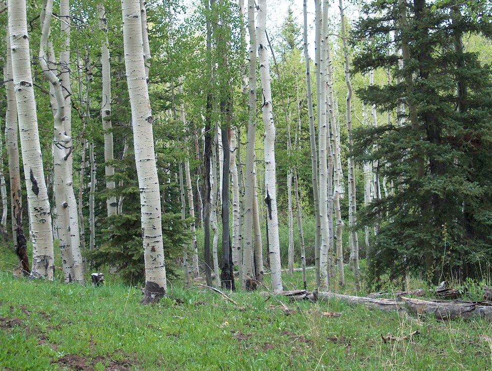 aspen conifer
